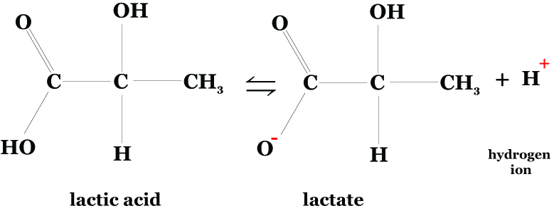lactic acid to lactate